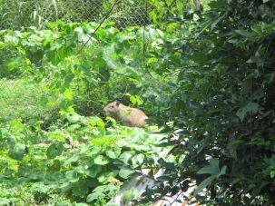 Luis, a Cofan elder, keeps animals such as this capybara near his home