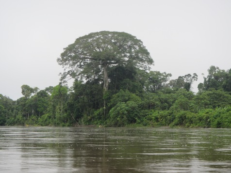 Traveling back up the Aguarico River -- a giant Ceiba tree looms over the forest canopy at the river's edge